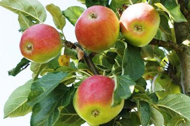 Favoriten der Apfelsorten für den Haus- und Kleingarten