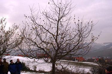 Winterschnitt bei Apfelbäumen