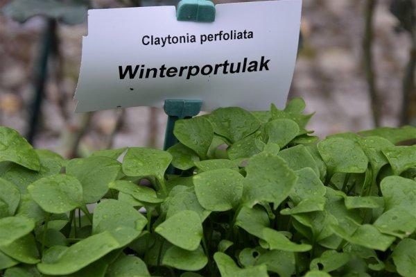2021 – Gartentipp 03 – Winterportulak – frisches Grün im Winter